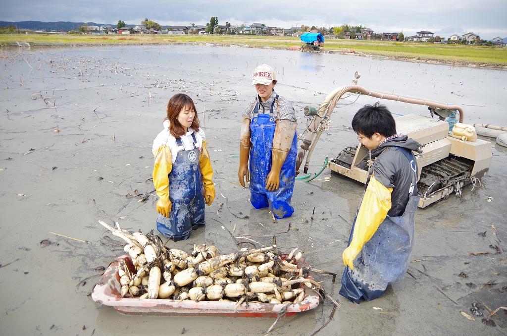収穫したレンコンはソリに似た収穫用の舟に積んで運びます。