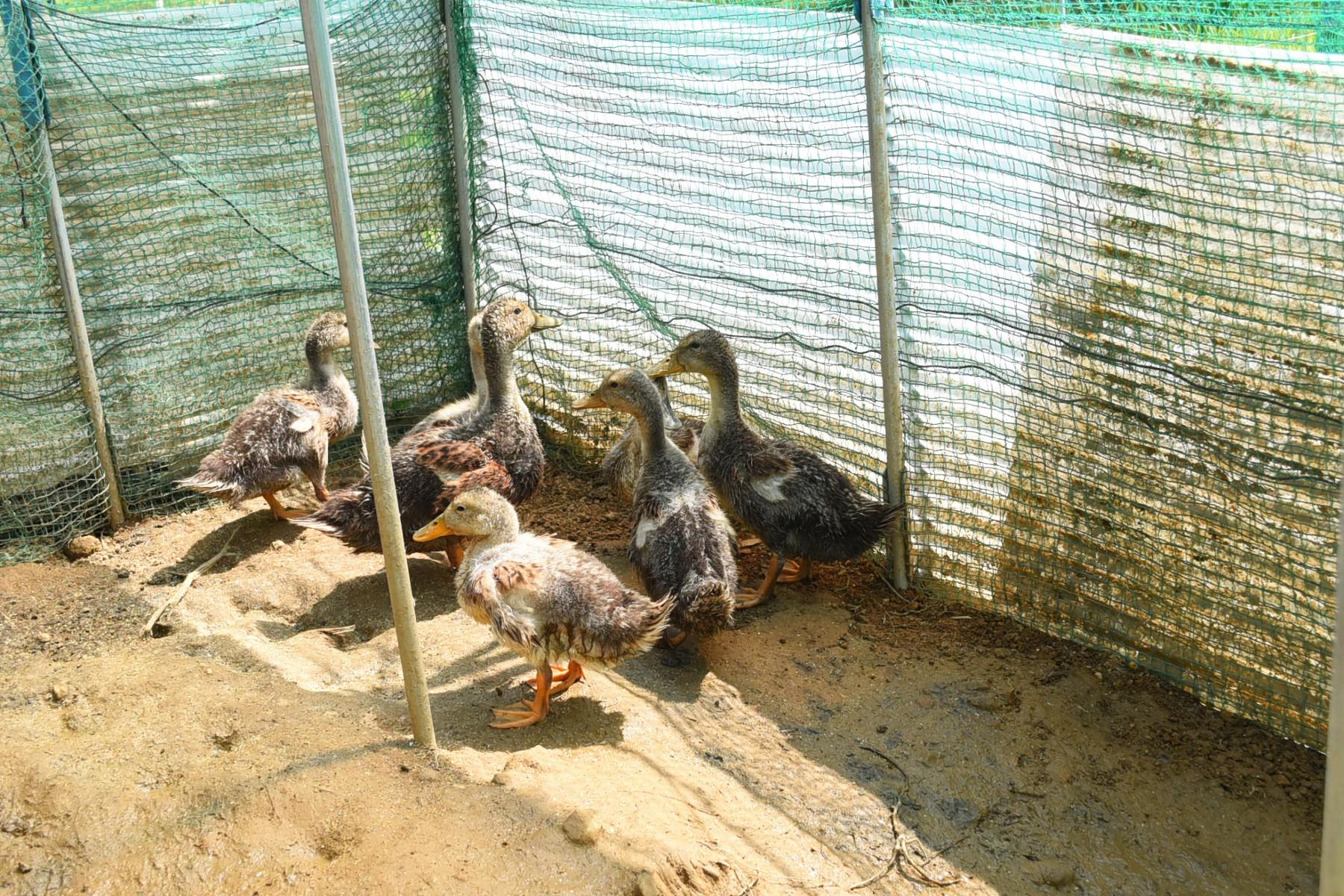 田んぼの雑草や害虫を食べてくれる合鴨たち。
